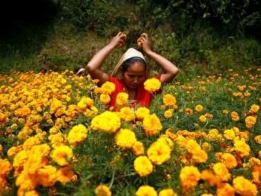 قطف الورود استعدادا لمهرجان تيهار في نيبال