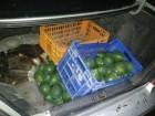 اعتقال 5 اشخاص من تل السبع بشبهة سرقة 300 كيلوغرام من الأفوكادو من كروم بالقنب