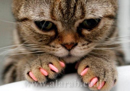 صورة القطة المدللة بأظافر ملونة وجذابة
