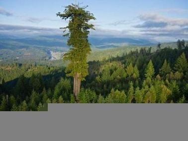 اطول شجرة بالعالم ويبلغ طولها 112 مترا