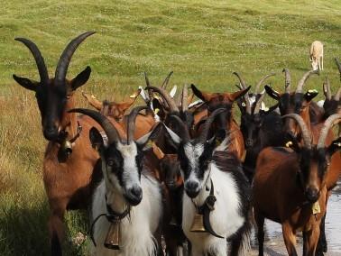 عجائب غرائب ألمانية:رحلة شيقة للأبقار والماعز