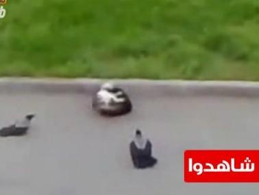شرطة الطيور تحاول القبض على المجرمين القطط