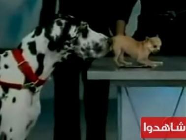 مخيف جداً كلب كبير يلتهم كلب صغير وسط ذهول المشاهدين!