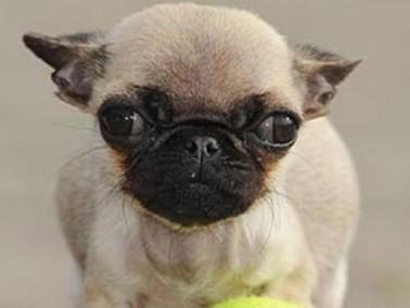 مضحك:كلبة قزمة مرشحة لتكون الأصغر في العالم