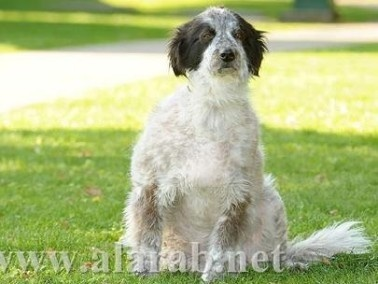 شاهدوا:أسمن كلب بالعالم يفقد نصف وزنه خلال6 أشهر