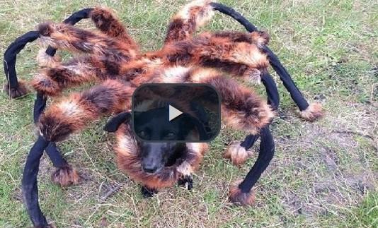 بالفيديو: الكلب العنكبوت يدّب الخوف في قلوب الناس