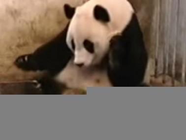فيديو مضحك.... طفل الباندا يعطس
