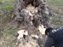 مواطن من مجد الكروم: عديمو الضمير قطعوا أشجار زيتون لاستخدامها كحطب للتدفئة!
