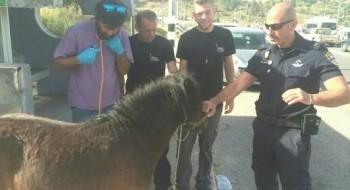 الشرطة: العثور على حصان بوني تائه في كرمئيل والبحث عن مالكيه