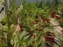 الطيبة: اعتقال مشتبهين (25 عامًا) بعد ضبط نباتات من مخدر المريحوانا