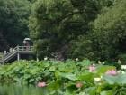 أزهار اللوتس في هانغتشو الصينية