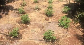 الكشف عن حقل مخدرات واسع في منطقة نهاريا