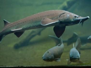 تعرفوا على سمك الحفش طويل العمر