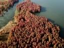 غابة السرو الحمراء في الصين