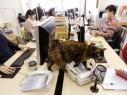شركة يابانية تسمح لموظفيها باصطحاب قططهم للعمل! شاهدوا الصور