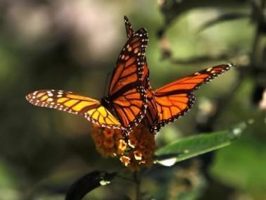 الفراشات الملكيّة في كاليفورنيا