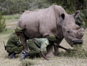 وفاة آخر وحيد قرن أبيض ذكر في العالم