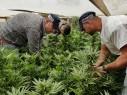 النقب: العثور على 690 شتلة مخدرات الماريخوانا في ساحة احد المنازل