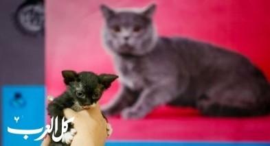 معرض خاص لأجمل القطط في كازاخستان