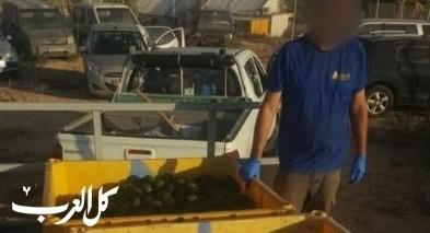 إتهام 4 شبّان من المزرعة بسرقة محاصيل أفوكادو