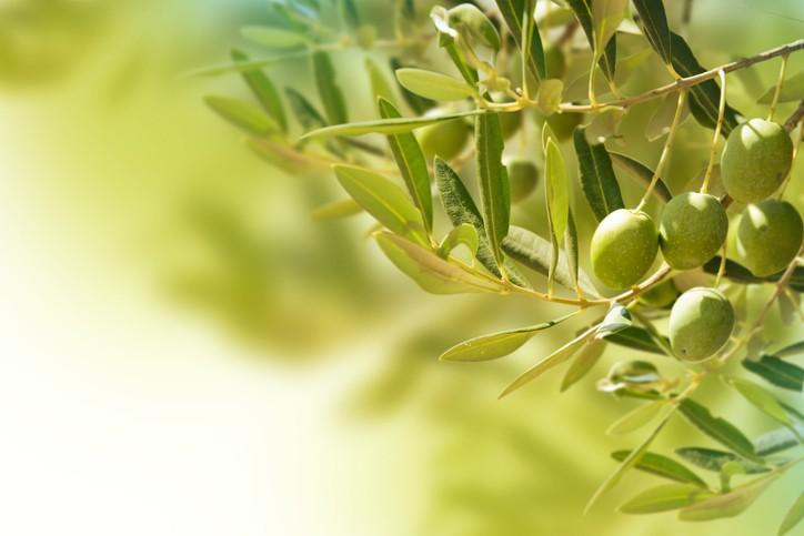 فوائد ورق الزيتون.. تنزيل الوزن والوقاية من الأمراض