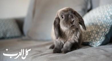 إليكم بعض الحقائق العلمية الغريبة عن الأرانب