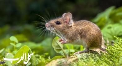 هل تعلم أن الفئران تُغنّي؟