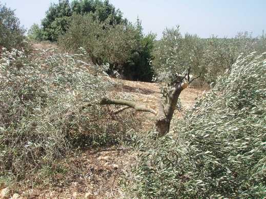 مستوطنون يقطعون أشجار زيتون في قرية برقة