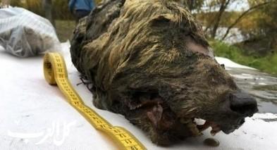رأس ذئب عمرها 40 ألف عام في روسيا!