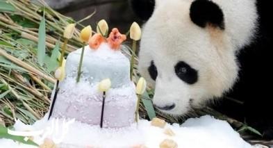صور.. باندا يحتفل بعيد ميلاده التاسع