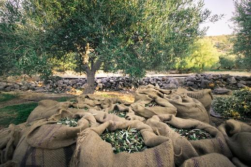 سلطة الإطفاء والإنقاذ: موسم قطف الزيتون مبارك