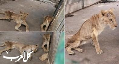 أسود في السودان تتضور جوعا.. بالصور
