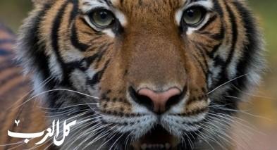الكورونا يصل حديقة الحيوان| إصابة أول نمر بالفيروس