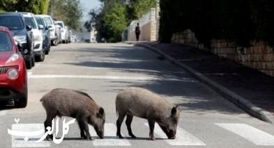 حيفا: الخنازير البريّة تتجول في الشوارع!
