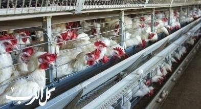 الزراعة: نقص بالدجاج الطازج خلال عيد الفطر