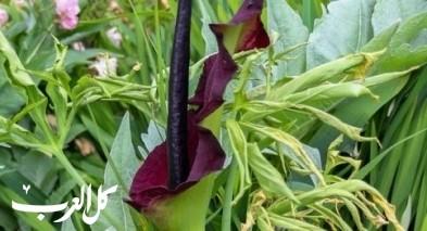دراكونكولاس فولجارز .. من عجائب النباتات!