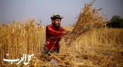 كفاح بغزة: جامعيون يحصدون القمح