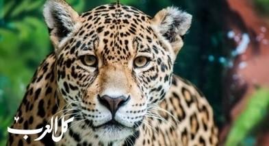ما هو الحيوان الوطني لدولة البرازيل؟