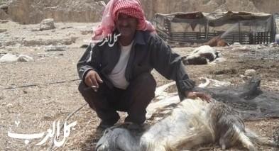 نفوق 60 رأسًا من الماشية في الأغوار