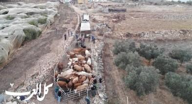 فسوطة: مصادرة 54 بقرة بسبب الدخول الى محميات ومراعي