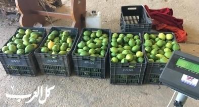 اعتقال مشتبه من سكان يافة الناصرة بسرقة 100 كيلوغرام من الليمون