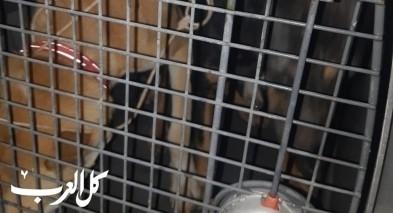 ضبط كلاب بحوزة شاب من البعنة واعتقاله