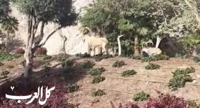 إيلات: غزلان تتجول قرب الفنادق في ظل إغلاق كورونا