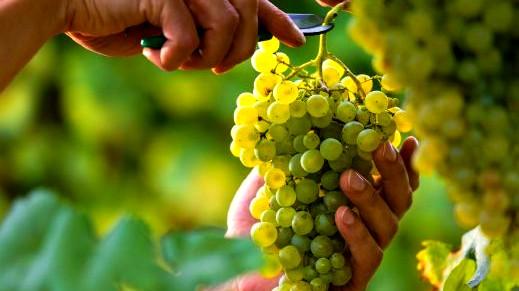 ما علاقة العنب الأخضر بالريجيم؟