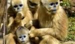 تعرفوا على القرد الذهبي النادر