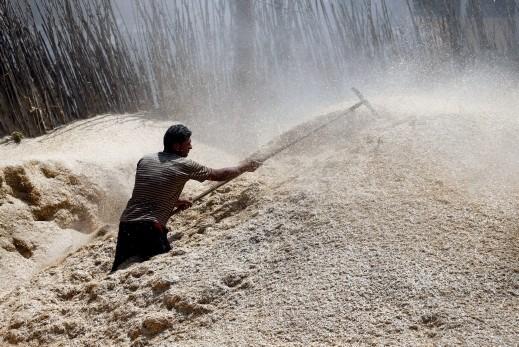 صور من موسم الحصاد في مصر