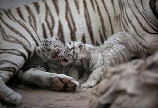 صور نادرة لصغير النمر الأبيض
