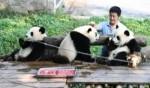 تجربة ممتعة مع الباندا في تشونغتشينغ