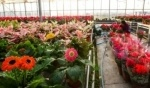 زهور استوائية في دفيئات خاصة