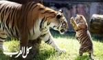 صور رائعة لصغار النمر حديثي الولادة!
